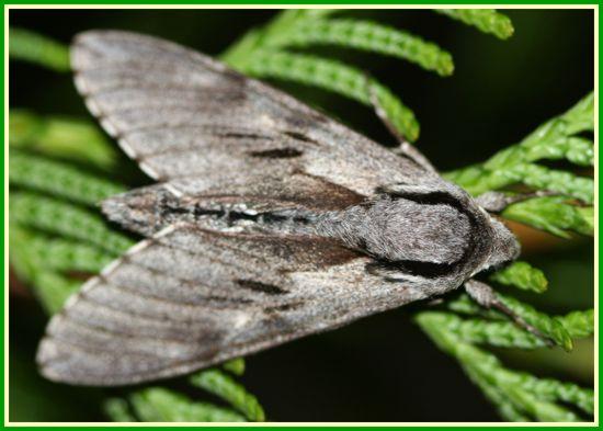 Autres sphinx - Que mange les papillons de nuit ...